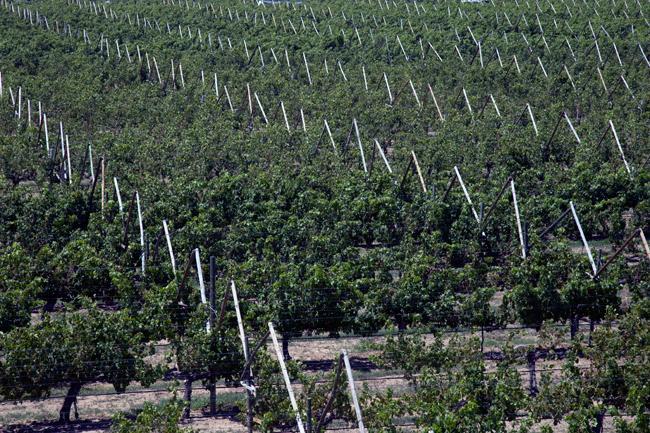 Jalisco y Sonora hacen alianza para producir uvas de mesa en Tuxcacuesco